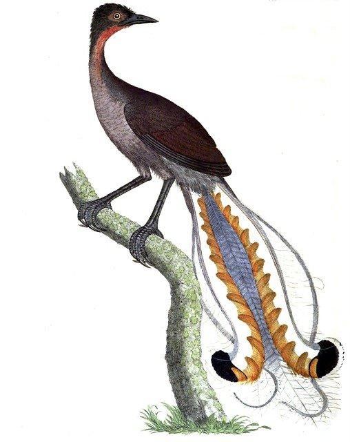 oiseau lyre